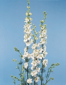 White larkspur to deter  Japanese beetles