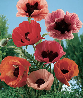 Heirloom Oriental Poppies boast large flowers, scarlet to pink with deep purple centers.The fragile beauty and shimmering colors of all poppies are magical. They practically grow themselves, which is why they were essentials in remote cottage gardens. Large flowers, scarlet to pink with deep purple centers. Flowers May-June.