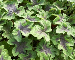 Chocolate mint scented leaves with small white flowers on this geranium.