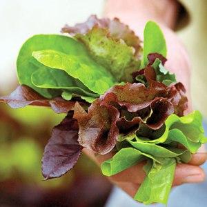 edibles-lettuce-l