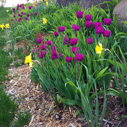 Tulips and daffodils in my front retaining wall. This will be daylilies when summer arrives