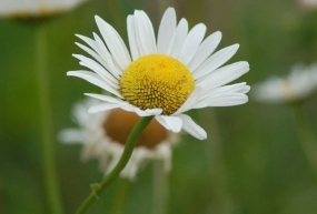 A daisy symbolizes innocence and gentleness.